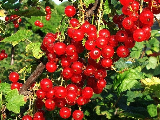 Rode ribes (Ribes sanguineum)